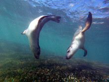 Young Sea Lions Showing Off Their Grace