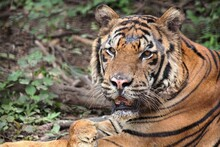 Close Tight Shot Of A Tiger's Face With Its Mouth Partially Open