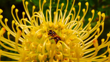 Pincushion With Cape Honey Bee