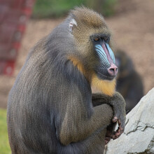 Portrait Of A Baboon/mandrill