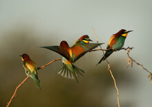 European Bee-eater Perched On A Tree, One Trying To Perch, Bahrain