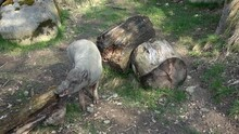 North Sulawesi Babirusa Babyrousa Celebensis. Pig With Large Canine Teeth.