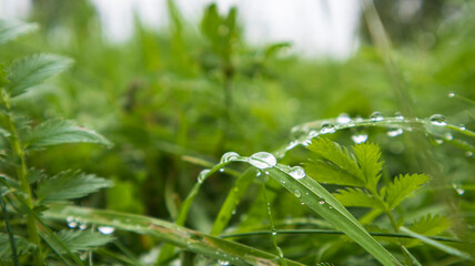 Lush green grass with large drops of dew. Macro photo