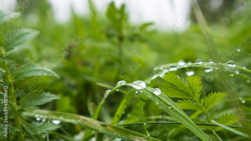 Lush green grass with large drops of dew. Macro photo - fototapety na wymiar