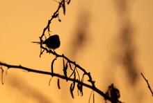 A Backlit Image Of Graceful Prinia,  Bahrain