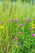 Blooming Flowers Of Meadow Clover In Green Field, Vertical Photo