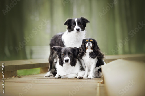 Valokuvatapetti border collie and cavalier king charles spaniel dogs portrain in green nature