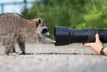 A Raccoon Examines A Photographer's Telephoto Lens At Lynde Shores Conservation Area In Whitby, Ontario.