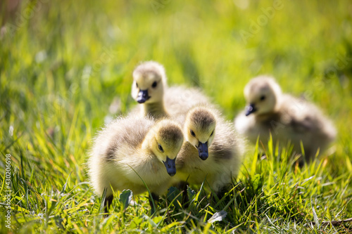 Fotografie, Tablou Family of young Canada Goose with newly hatched goslings