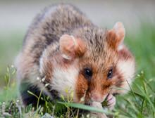 Field Hamster Closeup