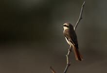 Red-tailed Shrike Perched On A Acacia Twig, Bahrain
