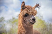 Cute Funny Brown Alpaca Posing For Photo