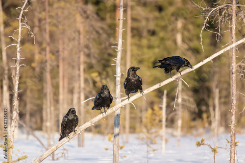 Fototapeta premium Four ravens (Corvus corax) sitting on a dry tree on a bright winter day