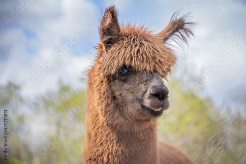 Fototapeta premium cute funny brown alpaca posing for photo
