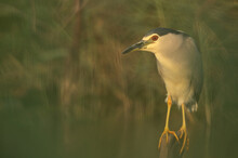 Portrait Of Black-crowned Night Heron At Asker Marsh, Bahrain. Photograph Taken Through The Weeds