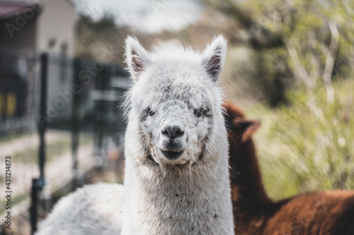Fototapeta premium portrait of cute white alpaca with raised ears