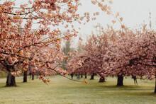 La Floraison Des Cerisiers Au Printemps
