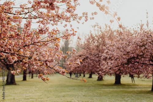 Fototapeta La floraison des cerisiers au printemps
