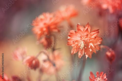 Obraz Orliki w ogrodzie - fototapety do salonu