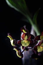 Orchid. Catasetum Hybrid On Black Background. Catasetum Tenebrosum. A Photo Of A Stunning Almost Black Orchid Hybrid.