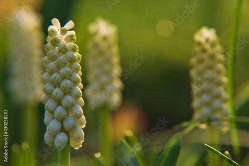 Obraz kwiat i pączki śliwy - fototapety do salonu
