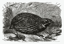Common Quail, Coturnix Sitting On The Ground Between Grasses. Illustration After An Antique Engraving