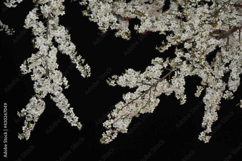 Fototapeta Sliwa, kwiaty nocą