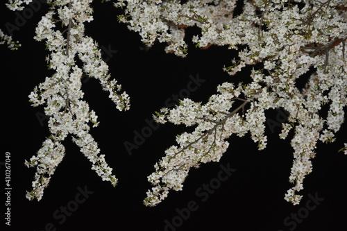Obraz Sliwa, kwiaty nocą - fototapety do salonu