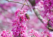 Eastern Carpenter Bees Feed On Flowering Redbud Trees On A Sunny Spring Day In Maryland