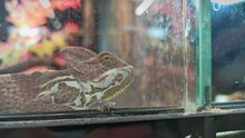 Curious Chameleon Shedding Its Skin Looking Through Glass In Pet Shop And Turns