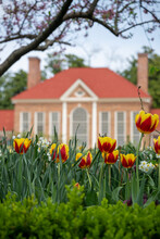 Tulips In The Upper Garden At George Washington's Estate, Mount Vernon, Virginia.