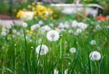 White Dandelion Field, Wild Flowers In The Grass, Puff Ball, Taraxacum Officinale, Blowball, Cankerwort, Lion's Tooth, Priest's Crown, Swine Snout, Wild Endive, Taraxacum, Puff-Ball, Sin In The Grass