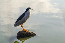 Black-capped Night Heron (Nycticorax Nycticorax) Stands On A Rock In Lake Elizabeth.