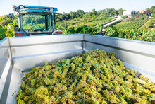Heap Of Freshly Picked White Grapes In Truck In Vineyard In Sunny Autumn Day. Harvest Time