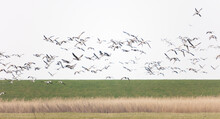 Island Of Ameland (Friesland/Fryslan, The Netherlands): Flock Of Birds On Field Next To Dike At Wadden Sea Side Of The Island.
