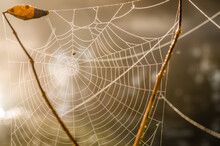 Cobweb Sprinkled With Drops Of Dew.