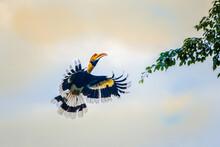 Great Hornbill Flying In The Sky