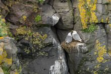 Close-up Of Seagulls On A Steep Rock Face On The West Coast In Iceland In July.