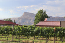 Grand Mesa In The Background Of Vineyard Rows At A Winery In Grand Junction, Colorado