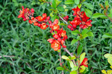 The Beautiful Flowering Japanese Quince Tree. Quince Bush Blossoms. Vibrant Red Spring Flowering Of Japanese Quince (Chaenomeles Japonica) On Blurred Green Background.