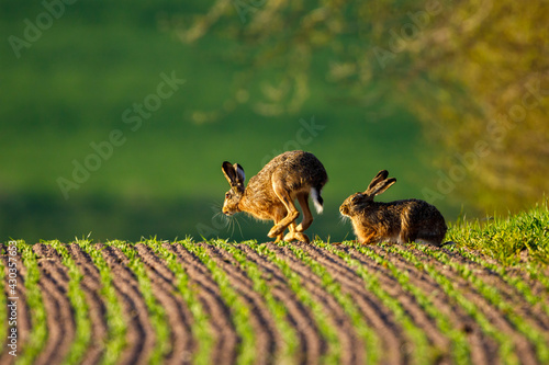 Wallpaper Mural A wild hare on a field
