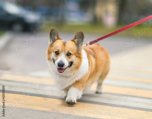 Fototapeta premium funny dog puppy corgi on a strapped leash safely crosses the road on a pedestrian on a city street