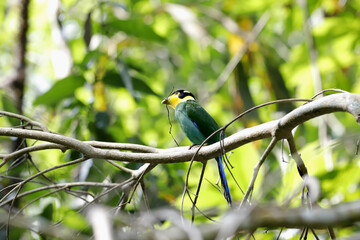 Bird, Long-tailed Broadbill (psarisomus dalhousiae ) on tree branch helping each other to build a nest in tropical forest