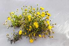 Yellow Blooming Flowers Of Salsify (Tragopogon Heterospermus) In The Sand.