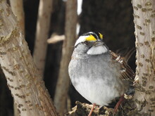 A White-throated Sparrow In The Garden