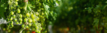 Branches Of Green Cherry Tomatoes On Blurred Background, Banner