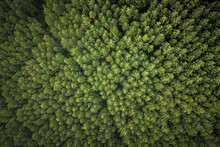 Aerial View Of Green Pine Tree Forest In Canela, Rio Grande Do Sul, Brazil.