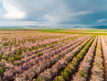 Aerial View Of Many Rows Of Blossoming Almond Plantation And Rain Clouds In The Background, Jezreel Valley, Northern District, Israel.
