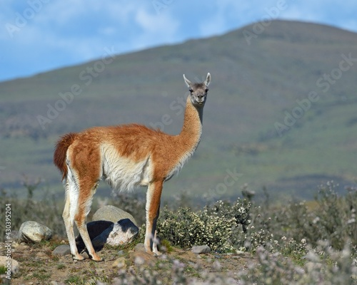 Fototapeta premium A Guanaco wanders across the Andes Mountains in Torres del Paine, Chile