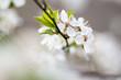 canvas print picture - Weisse Bluete Baum Schlehe am Ast mit gruenen Blaettern